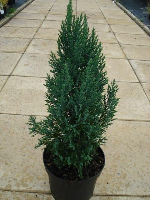 Lawson False Cypress