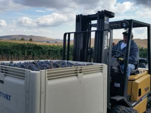 Loading Cabernet Sauvignon at May's Discovery Vineyard Today