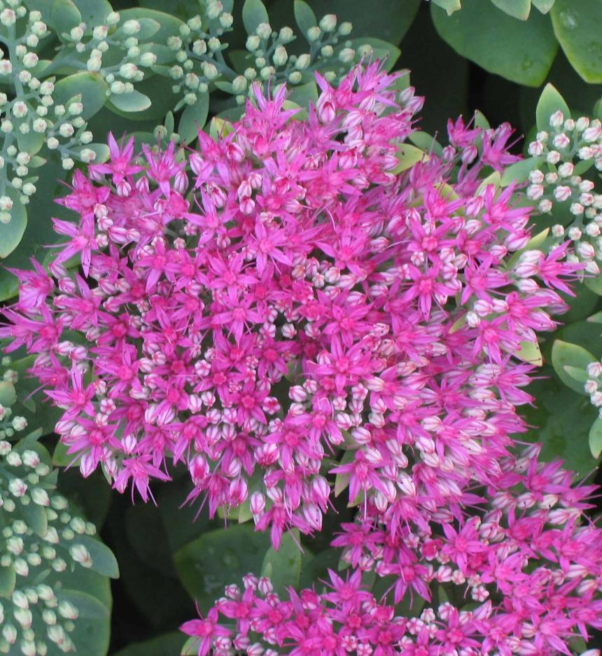 Sedum Neon and Autumn Joy